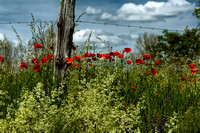 Poppies, Wooden Stake and Barbed Wire - Near Auriac, France